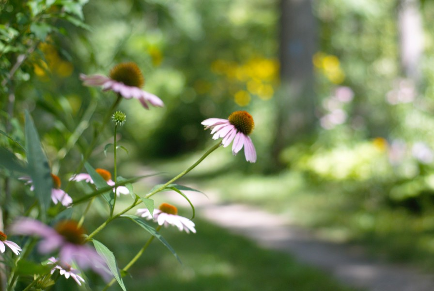 The Heritage Trail passes through roves of wildflowers, weeds and trees. (Brittany Carter/Niagara Now)